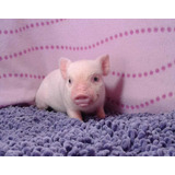 Mini Pig Macho
