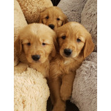 Oficial Cachorros Golden Retriever
