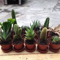 Cactus Y Suculentas Miniatura Por Caja 50pzas.