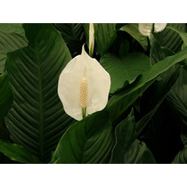 Cuna De Moises ( Planta ) , Spathiphyllum Wallisii 60cm