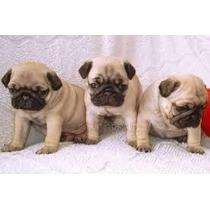 Hermosos Cachorros Pug Adorables Y Legítimos