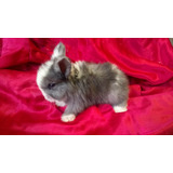 Hermosos Conejos Angora Ingles 100% Puros