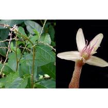 Frasco 60 Capsulas Anamu Petiveria Raiz Garantia Botanica