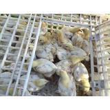 Pollito De Engorda, Pollos De Engorde Ross 308 1 Día