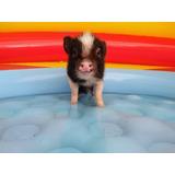 Dedicados Única Y Exclusivamente A La Crianza De Mini Pig