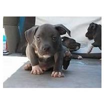 American Bully Cachorros Sin Registro