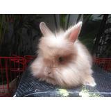 Hermosos Conejos De Angora (raza Pequeña)