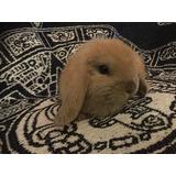 Lindos Conejos Belier