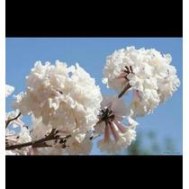 25 Semillas De Tabebuia Macuili Palo Rosa Blanco Arbol