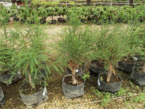 Arbolito ahuehuete para bonsai 100 xyec9 precio d m xico - Arbolitos para jardin ...