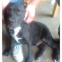 Vendo O Cambio Cachorro Pitbull Todas Laa Vacunas -3 Meses!
