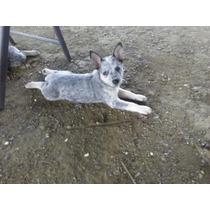 Hermosa Cachorra Blue Heeler Ganadero Australiano