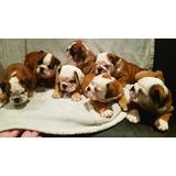 Cachorros Bulldog Ingles Con Pedigree Azul Registrados