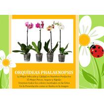 Orquídeas Phalaenopsis, Orquídea Mariposa Natural
