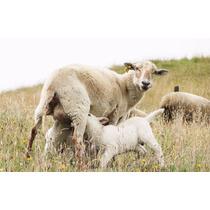 Corrida Financiera Para Proyecto De Cría Y Engorda De Ovinos