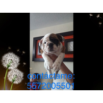 Cachorros Bulldog Ingles Con Pedigree Azul Tatuaje Y Chip