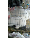 Se Venden Conejos Vivos Y En Canal