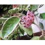 Hoya Carnosa Variegata Flor De Cera Planta Grande No Esqueje