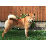 Cachorros Shiba Inu Japones Shiba 100% Legitimos