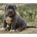 Pitbull Blue Cachorros Los Mas Hermosos