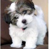 Bichon Habanero Cachorros Garantizados