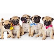 Hermosos Cachorros Pug 2 Meses