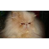 Gato Persa Busca Novia Libre De Pkd (gatitos Disponibles)