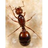 Hormiga Reina Solenopsis Inv. Envio En La Descripción.