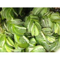 Helecho Flotante. Silvinia Natans Plantas Acuáticas Flotante