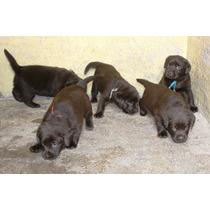 Excelentes Cachorros Labrador Chocolate Pedigree Internacion