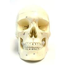 Numerada Cráneo Humano Modelo Anatómico Médico Calidad De Vi
