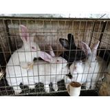 Pieles De Conejo Crudas Para Curtir