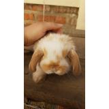 Hermosos Conejos Mini Lop (desparasitados)