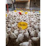 Pollito De Engorda, Pollos De Engorde Ross 308 15 Días