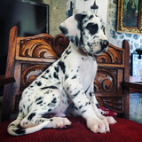 Cachorros Gran Danes Arlequin Boston Criadero Profesional