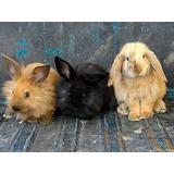 Conejos Minilop Y Cabeza De León