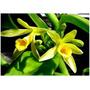 Venta De Orquídeas Vainilla Planiufolia