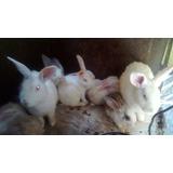 Conejos Raza Grand E
