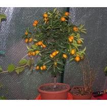 Plantas De Citricos Naranja Limon Mandarina Pomelo Kumquat