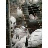 Carne De Conejos