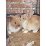 Conejos Mini Lop/cabeza De Leon