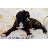 Cachorros Presa Canario (macho Y Hembra)