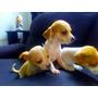 Cachorritos Chihuahuas De 2 Meses De Nacidos