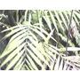 Planta Palma Chica