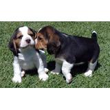 Beagle Autenticos Cachorros Registro Fcm