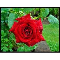 Rosa , Rosa De Castilla ( Planta ) , Sol
