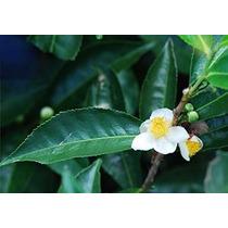 35 Semillas Invernadero Camellia Sinensis Verdadero Té De Ár