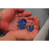 Pez Cirujano Azul De Criadero