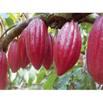 Arbolito De Cacao Criollo