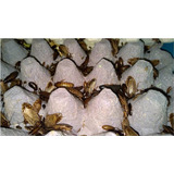 Alimento Vivo Cucaracha Lobster 100 Unidades
